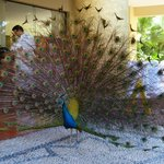 Peacock defending his area in front of Andreas restaurant