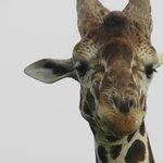 Giraffe on safari drive
