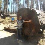 Sequoia abbattuta
