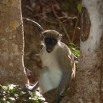 Monkey at rest
