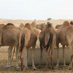 At the camel farm