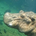 Hippos are easily viewable