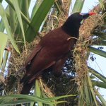 Montezuma Oropendola at nest