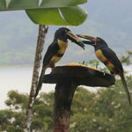 Toucans at feeder