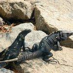 Iguanas like it here.