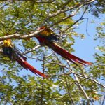 ON THE WAY TO LUNCH RICKY FINDS SOME MACAWS