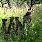 5 meter från Geopardmamma med 3 ungar