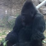 The gorillas have a great outdoor space but frequently stay close to where visitors are!