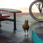 The Friendly Rooster