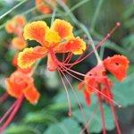 Fleur Lakaz Chamarel