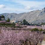 Almond Blossom, Parcent, Jalon Valley