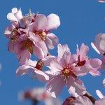 Pink Almond Blossom