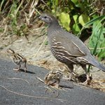 Mama California quail and some of her chicklets at Zealandia