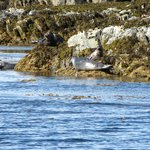 Harbor Seals hanging out on the rocks.