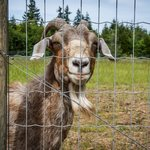 Rosemary our cantankerus goat