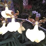 Orchid Show 2014 - these look like little dancing fairies