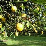 Beautiful garden with lemon tree