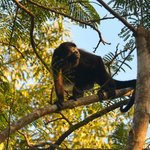 Visiting howler monkey
