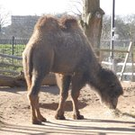 Even this camel had the hump!