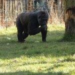 Gorilla Enclosure