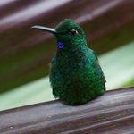 Kolibri  - mer enn 40 sorter