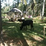 IVAC keeps cows who sometimes graze in the grounds, and who provide some of the milk to the cent