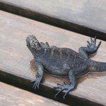 iguana en el deck del hotel
