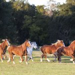 The herd at Old South Carriage Co.'s very own Sugah Cain Plantation, where the horses play!