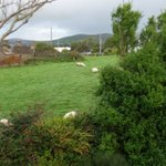cute little sheep in the backyard