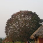 approx 200 years old peepal tree