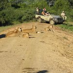 Lions and cubs at the game drive