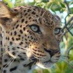 Leopard @ Thorny Bush Waterside Lodge
