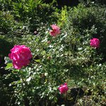 Beautiful roses all along the paths on the property