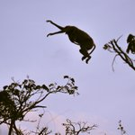 proboscis monkey jumping from tree to tree