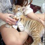 Durga the Bengal tiger cub