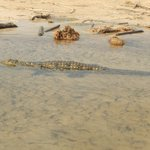 Small Croc