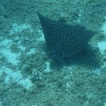 One of the spotted eagle rays