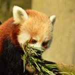 Red Panda munching bamboo