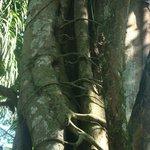 Одно дерево душит другое