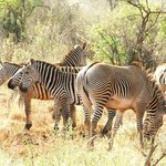 two zebra types