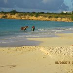 Even horses like to swim in Antigua :-)