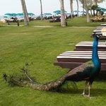 Павлин на пляже