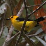 Black-and-Yellow Tanager near Rancho Naturalista