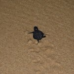 A newly hatched turtle scurrying off to the sea!