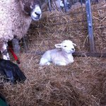 A newborn lamb laying in some hay