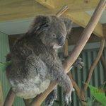Koala, so cute!