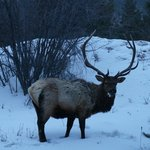 Six-point elk on grounds