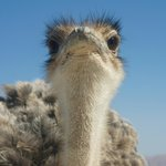 This ostrich stood really close to our car window