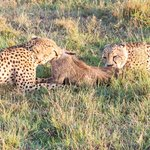 Cheetahs with their Warthog kill before the Lions stole it.