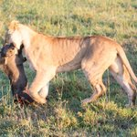 Lion stealing the Cheetah's kill
